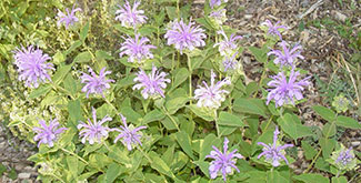 Bee Balm with Purple Blooms