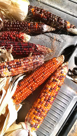 Orange and Brown Corn on Metal Pan