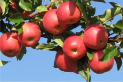 Red Apples on Branch