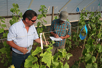 NMSU Staff Conducting Cucumber Trials