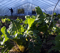 Chard Growing in Hoop House with Worker in Background