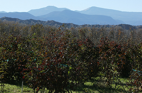 SASC Orchard Fruiting and Nearby Mountains